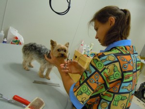 dog groomer working on Terrier