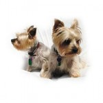 Two small Terriers